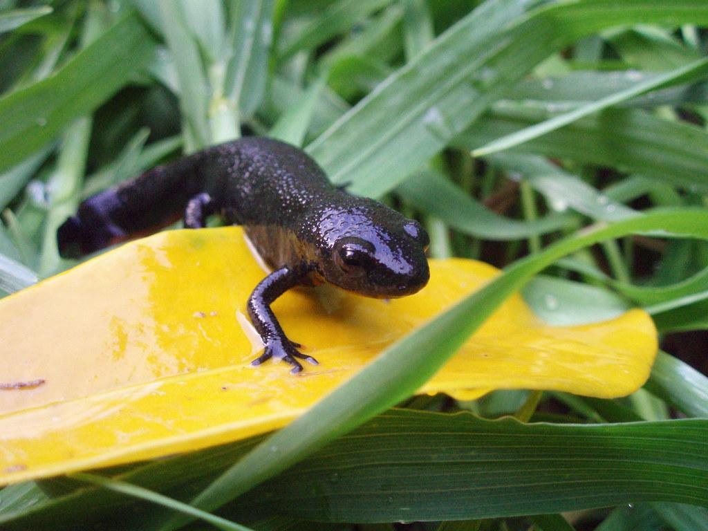 salamander colors lara danielle flickr