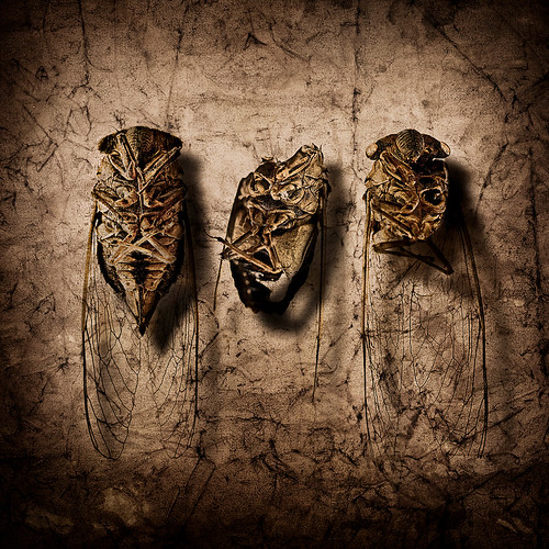 The Cicada Carcass, Through Varying Levels of Distress | by LivingInTheCloud [MonkeyDeus]
