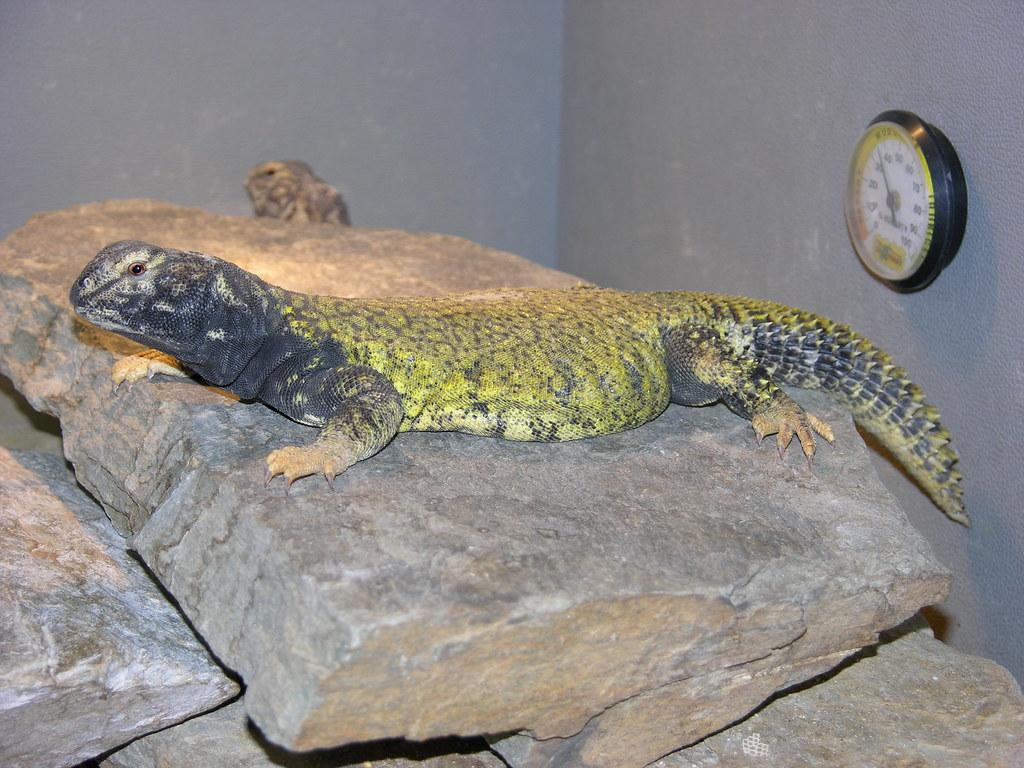 kingsnake.com photo gallery > Uromastyx > Large male Mali Uromastyx