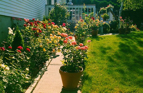 My previous rose garden this was the first garden i for My garden 3d