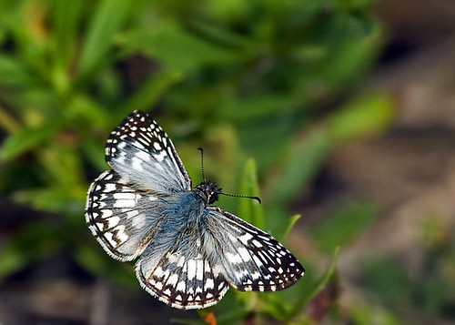 Tropical Checkered-Skipper | by DMF Photography