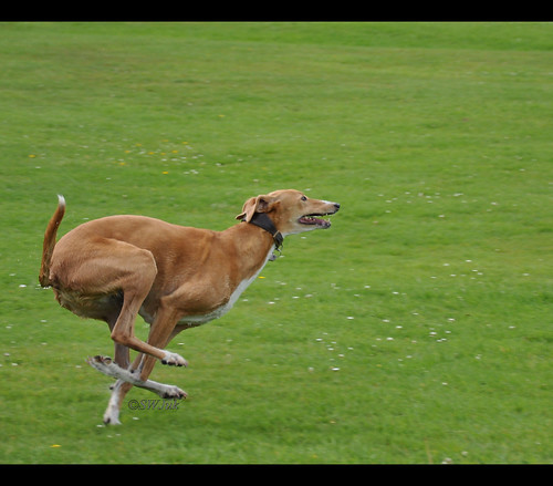 DSC_0021 - Running dog | Ruby (Saluki-greyhound) at top ...