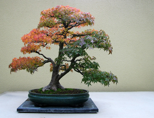 Bonsai in the Fall | by T.D. Ford (Grundlepuck)