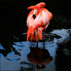 All About Flamingo | by IgorLaptev
