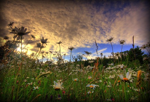 A MEMORY OF SUMMER - COTTON WOOL DAISY CLOUDS | by Wiffsmiff23