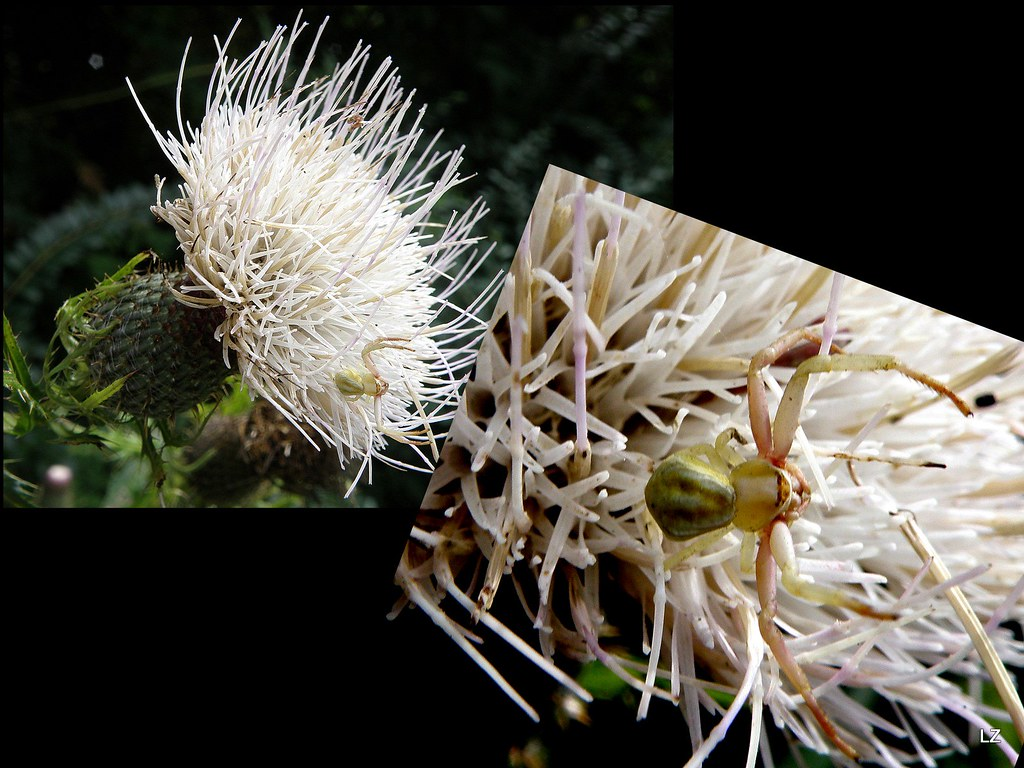 White thistle flower with a spider largesize robert lz flickr white thistle flower with a spider by robert lz mightylinksfo