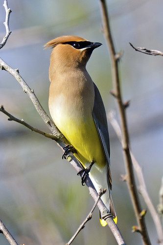 Cedar Waxwing | by Brian E Kushner