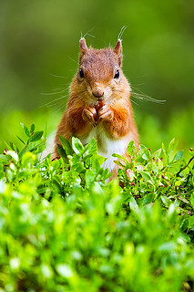 RED SQUIRREL 6 | by Nigel Bewley
