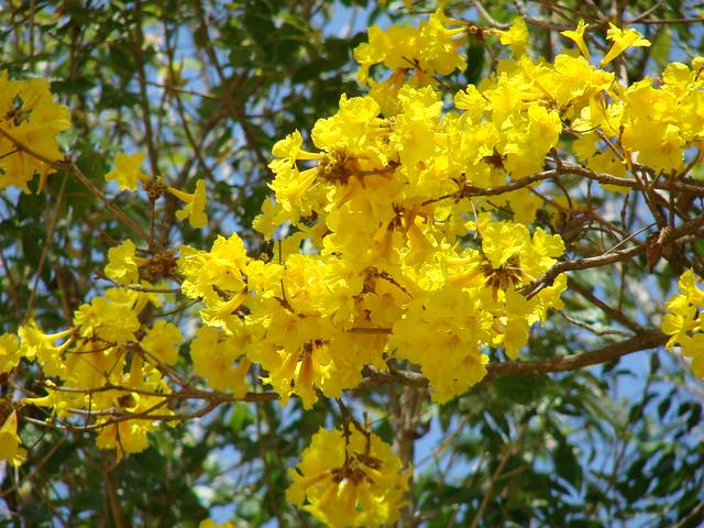 Yellow flowering trees flickr mightylinksfo