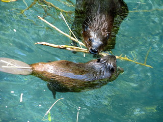 mama beaver teaching baby beaver to build | by javadoug