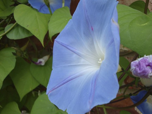Morning Glory | by James's GW Blog