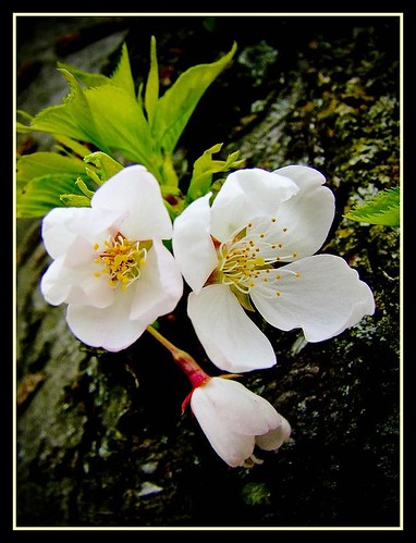 Blossoms | by Gunjan verma