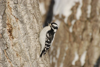 Downy Woodpecker(f) DSC_0408 | by Ron Kube Photography