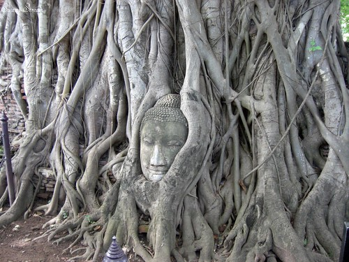 The Buddha Head in Pepal tree (Explore) | by Swami Stream