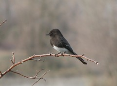 Black Phoebe | by themrbubby00mjf