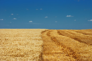 Wheat field | by amicor