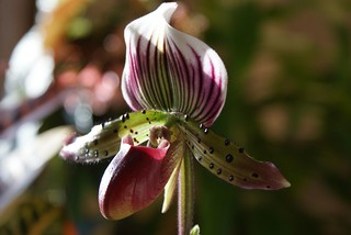 Lady Slipper Orchid | by water.drop .....( on & off )