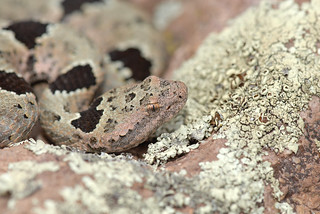 Camouflaged Rattlesnake | by rdodson76