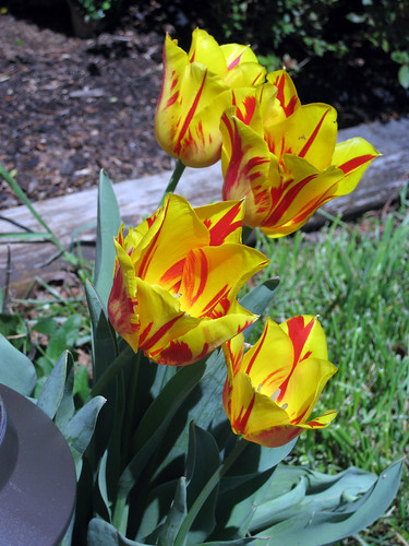 yellow and red tulips | by tammyleino