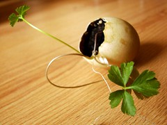 Parsley in the eggshell | by Gardener_24