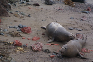Cambria Elephant Seals | by Modern Vintage Life