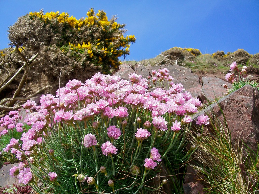Sea pinks sea pinks flowering profusely on the pembrokeshi flickr sea pinks by richpix sea pinks by richpix mightylinksfo