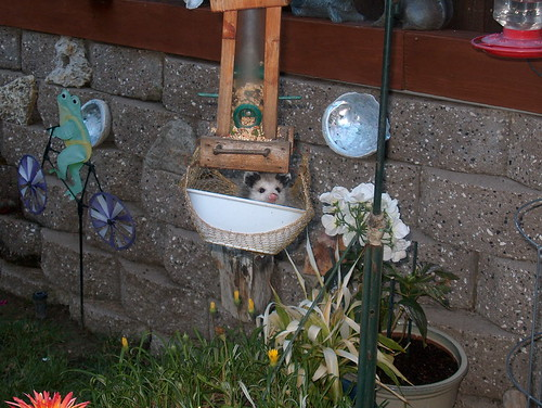 opossum in bowl1 | by Contra Costa Times