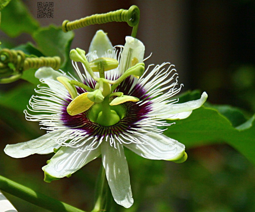 Passion flower location home garden description from flo flickr passion flower by malayalam passion flower by malayalam dhlflorist Images