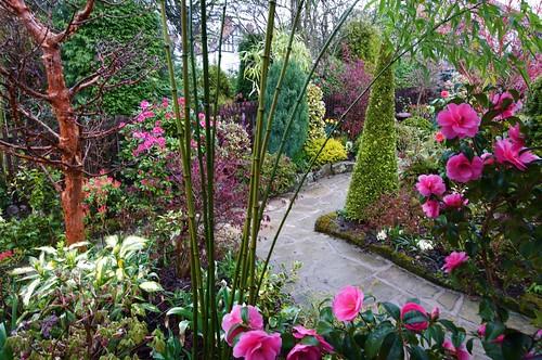 A Walk In The Garden At Dusk Camellia Williamsii 39 Donati Flickr