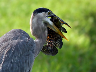 Great Blue Heron Ready to Swallow 20090528 | by Kenneth Cole Schneider