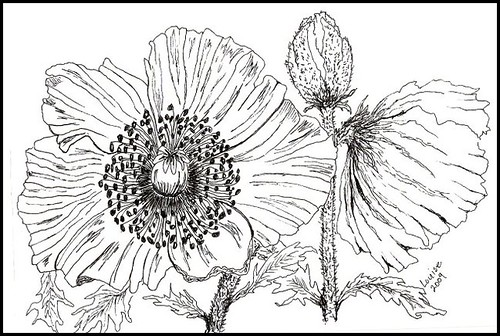 POPPIES  PEN&INK | by Louise001