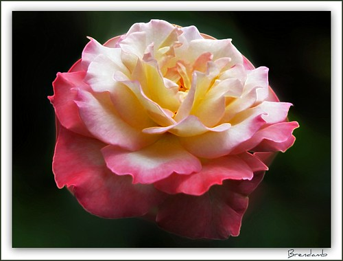 ~~ My Sweet Rose ~~ | by Brenda Boisvert .