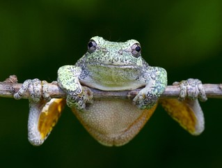Gray Tree Frog | by urolucas
