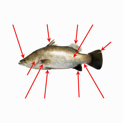 External Anatomy Of A Fish Diagram Of Major External Featu Flickr