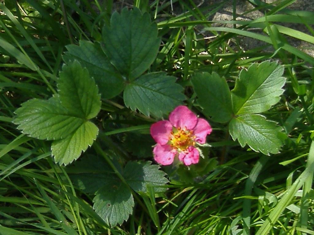 Pink Strawberry Flower Pink Ornamental Strawberry Flower Flickr