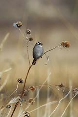 White-crowned Sparrow (Zonotrichia leucophrys) | by Adventures with E&L