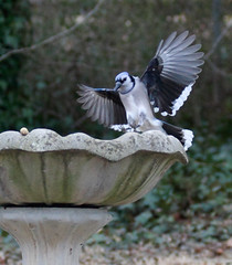 blue jay landing once again very low light i tried my