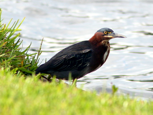Green Heron 20090522 | by Kenneth Cole Schneider