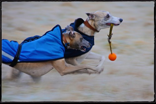 Whippet and ball | by redeyesatdawn