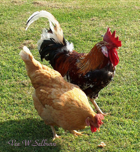 Cock and cock