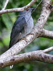 Grey-bellied Cuckoo (Cacomantis passerinus) | by David Cook Wildlife Photography
