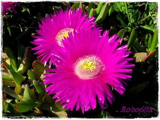 Fico degli ottentotti carpobrotus aizoaceae for Fico degli ottentotti