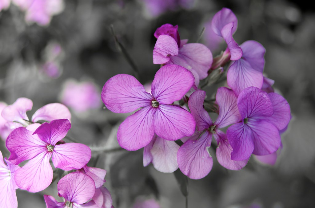 Purple flowers on black and white background experimenting flickr purple flowers on black and white background by ramshaw mightylinksfo