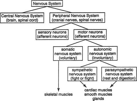 Nervous System Chart Sensory Neurons Receive Information F Flickr