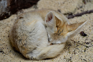 Fennec Fox dozing | by Brian Russo