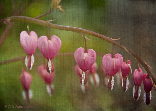 Bleeding Hearts | by Maria Aiello