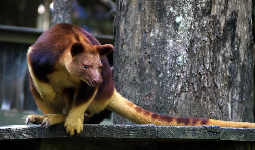 Goodfellow's Tree Kangaroo | by Erik K Veland