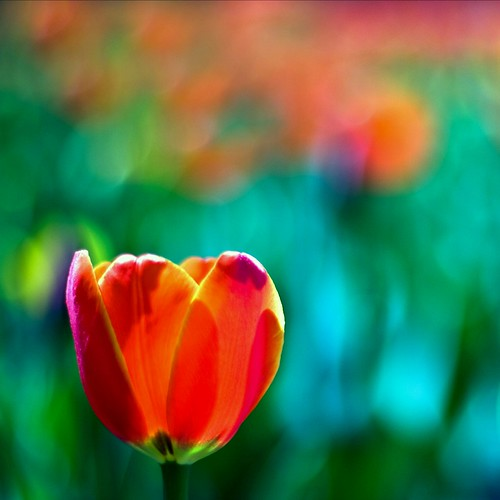 Punch Drunk Tulip Love | by Kala_M