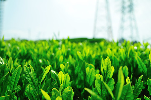 Tea plantation_17 | by ajari