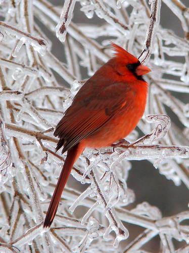 Cold cardinal | by ut.law97